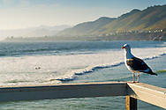Seagull overlooking the ocean at Pismo Beach, California
