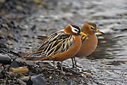 Pair of Grey Phalarope (Phalaropes fulicarius), Spitsbergen, Svalbard.