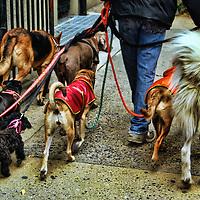 HDR image of a dogwalker in Manhattan's West Village.