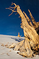 The gnarled figure of a bristlecone pine mirrors the conditions in which it has grown for millennia on a desolate mountain top, White Mountains, CA