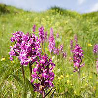 Dactylorhiza cordigera, Stara Planina, Central Balkan National Park