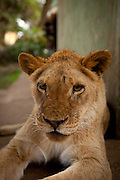 Oranje, an 18 month old orphan lion (Panthera leo), on the grounds of the Chipangali Wildife Orphanage in Bulawayo, Zimbabwe.