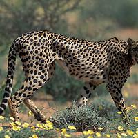 South Africa, Kgalagadi Transfrontier Park, Cheetah walks in field of wildflowers in Kalahari Desert