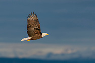 Bald eagle in flight, with snowy mountain range in background, © 2005 David A. Ponton