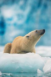 Polar bear (Ursus maritimus) in front of glacier in Svalbard