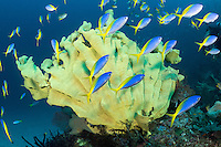 Colorful Fusiliers and Elephant Ear Sponge <br /> <br /> Shot in Indonesia