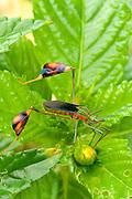 Flag footed bug,(Anisocelis flavolineata),Sierra Llorona Area,Colon Province,Panama,C.A.