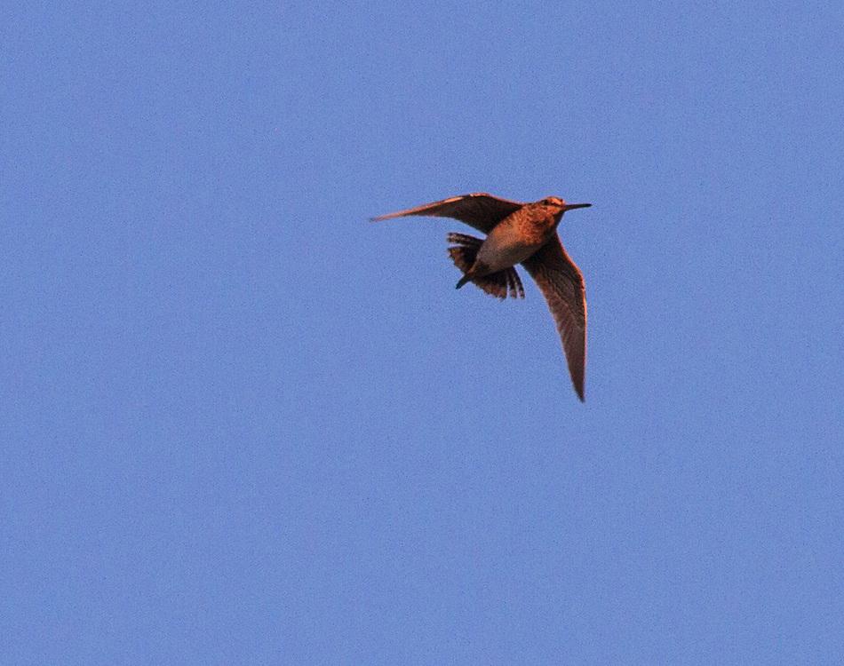 Snipe Flight Courtship Display