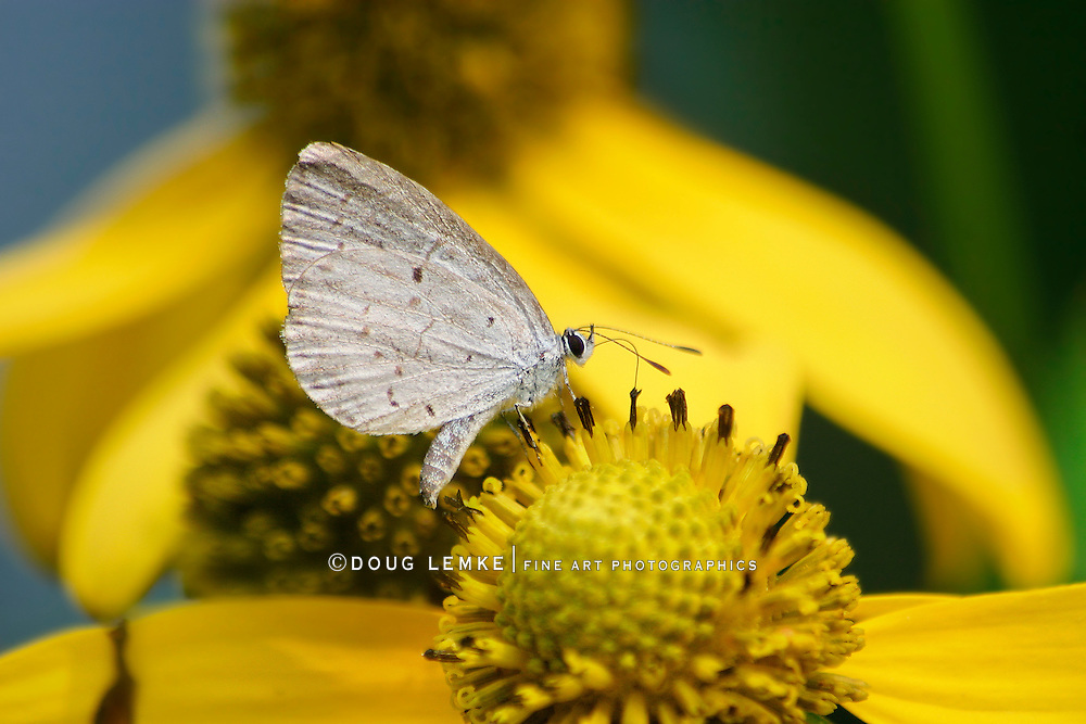 A Small Butterfly, The Spring Azure, Celastrina ladon, On A Yellow Flower