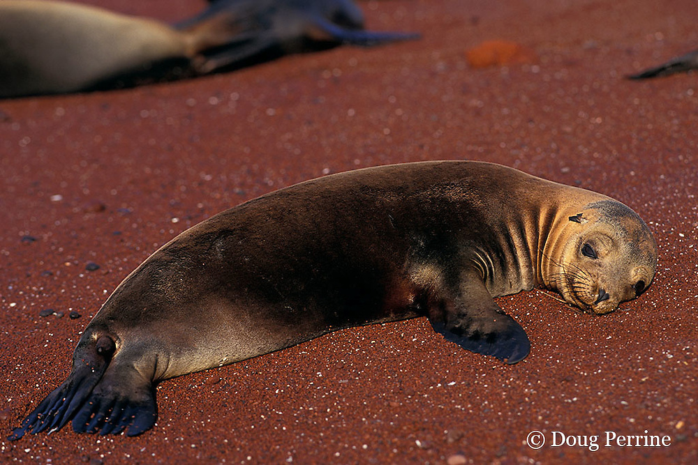 baby Galapagos sea lion, Zalophus californianus wollebaeki, Rabida or Jervis Island, Galapagos Islands, Ecuador, ( Eastern Pacific )