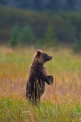 North American brown bear /  coastal grizzly bear (Ursus arctos horribilis) cub standing up in a field looking, Lake Clark National Park, Alaska, United States of America
