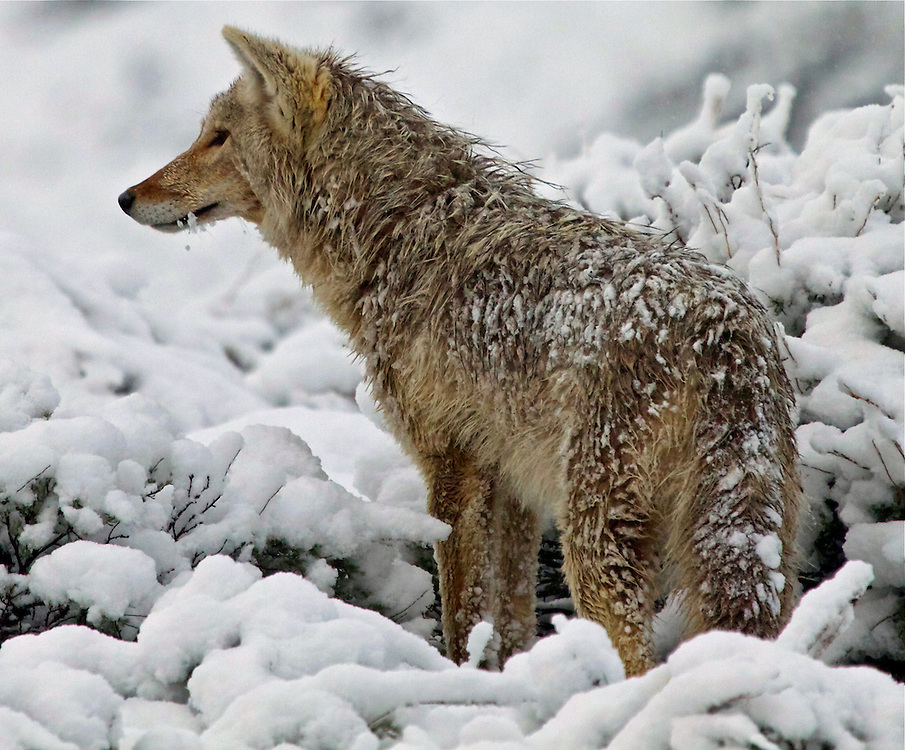 Wet and snowy Coyote, Yellowstone National Park