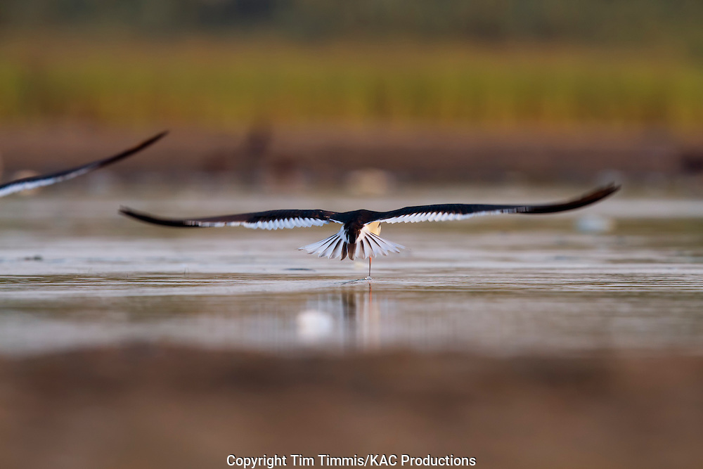 Black Skimmer, Rynchops niger, Bryan Beach, Texas gulf coast, skimming, going away,  beak in water with extended tail feathers