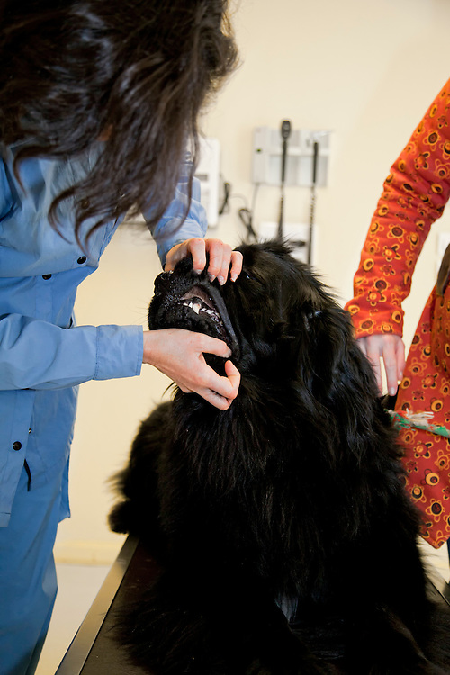 Veterinarian checking the teeth from a Newfoundlander (Cannis Familiaris) dog. France