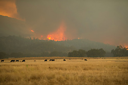 September 12, 2015 - Lake County, California. Valley Fire appraochs Hidden Valley, with strong winds and open pastures, cows grazing.  (Kim Ringeisen / Polaris)