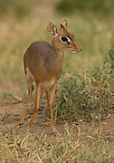 A dik-dik is a miniature antelope with a pointed snout, large eyes and a duiker-like head.