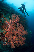 The strong currents in the Misool area create perfect conditions for filter feeders such as sea fans and many of the dive sites have huge fields of fans.