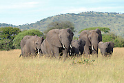 Tanzania wildlife safari African Bush Elephant