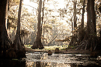 CYPRESS TREES GROWING IN CADDO LAKE TEXAS