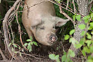 Closeup of a pig in the forest