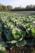 Gemüseanbau, Weißkohl, Weißkraut Feld, Radolfzell, Bodensee, Untersee, Baden-Württemberg, Deutschland