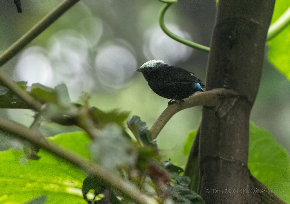 Blue-rumped Manakin, Lepidothrix isidorei, Ecuador, by Owen Deutsch