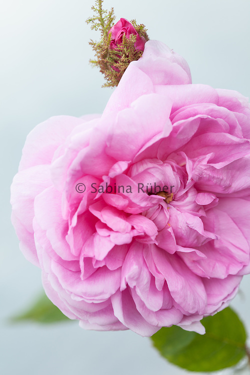 Rosa 'Mousseline' - moss rose