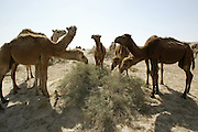 A herd of dromedary camels in the desert of northern Kuwait near the Iraq border.