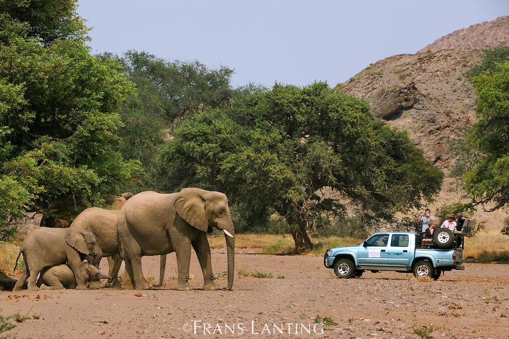 Desert elephants, Loxodonta africana, and tourist vehicle, Huab River, Torra Conservancy, Damaraland, Namibia