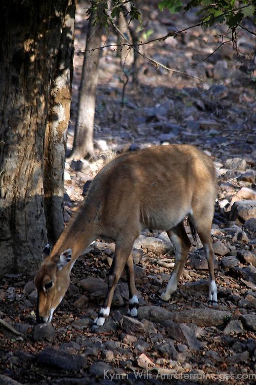 Asia, India, Ranthambore. Sambar Deer in Ranthambore.