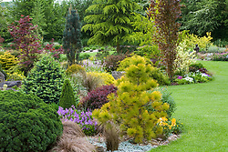 Contrasting shapes and colours of conifers, shrubs and trees in curving borders in John Massey's garden.  Planting includes Pinus radiata 'Aurea', Fagus sylvatica 'Dawyck' (Beech), Cedrus deodara (Cedar), Ulmus minor 'Dampieri Aurea' and Abies lasiocarpa 'Compacta'