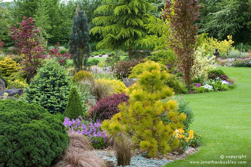 Contrasting shapes and colours of conifers, shrubs and trees in curving borders in John Massey's garden.  Planting includes Pinus radiata 'Aurea', Fagus sylvatica 'Dawyck' (Beech), Cedrus deodara (Cedar), Ulmus minor 'Dampieri Aurea' and Abies lasiocarpa 'Compacta'