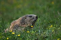 Alpine marmot; Marmota marmota, Augstenberg, Liechtenstein