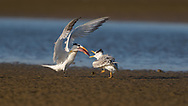Royal Tern parent feeding it's baby