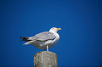 Herring Gull (Larus argentatus) peched on post, Crescent Beach, Nova Scotia, Canada