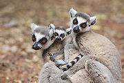 Ring-tailed Lemur<br /> Lemur catta<br /> Mother and two-week-old baby huddling with other female<br /> Berenty Private Reserve, Madagascar