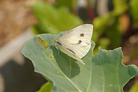 Cabbage White butterfly (Pieris rapae),  resting on cabbage leaf, Gabriola , British Columbia, Canada