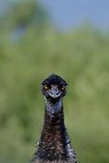 Emu, in case you didn't know! Australia