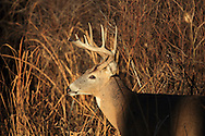 Whitetail buck in brushy cover
