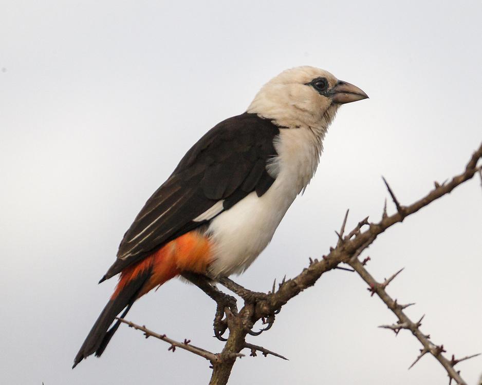 Dinemellia dinemelli, Tanzania
