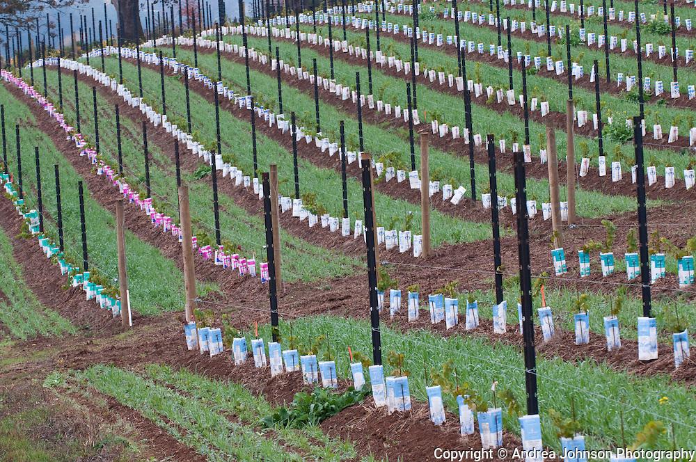 Saffron Fields vineyards, Yamhill-Carlton AVA, Willamette Valley, Oregon