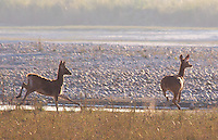 Two Swamp Deer (Rucervus duvaucelii) also know as Barasingha running in Bardia National Park, Nepal