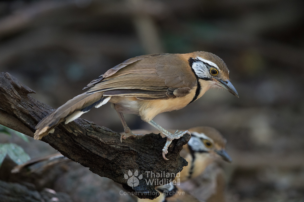 The greater necklaced laughingthrush (Garrulax pectoralis) is a species of bird in the family Leiothrichidae.