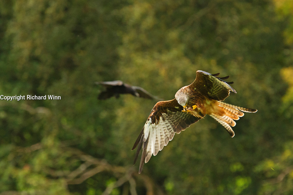 Red kite (Milvus milvus) feeding in flight, having collected meat from the Gigrin Farm feeding station.