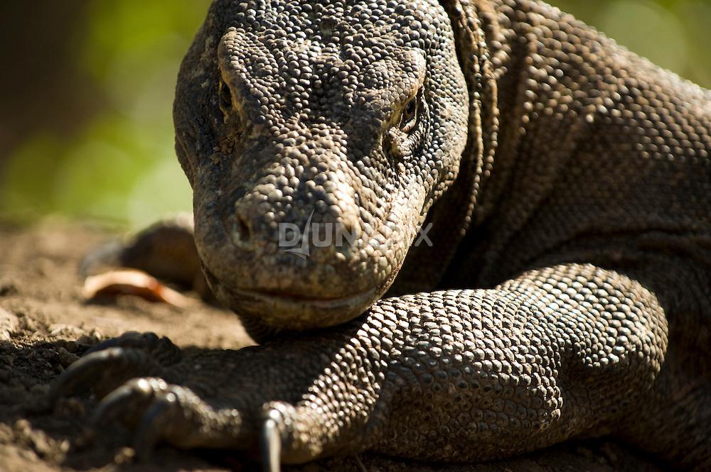 Large female Komodo dragon guarding her nest.