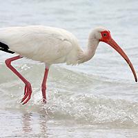 White Ibis walking in surf