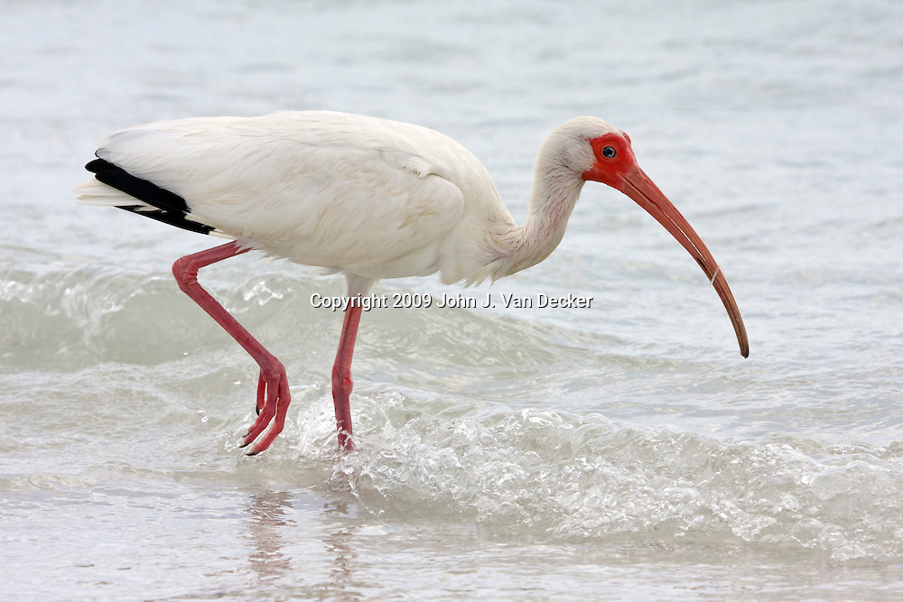 White Ibis walking in surf