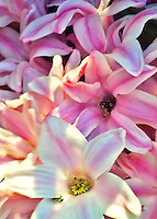 Beautiful macro shot of a group of pink hyacinths with sunshine falling on them.