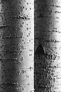 The characteristic diamond-shaped lenticels is clearly visible on these young aspen trees.