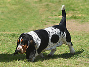 Basset Hound sniffing at the ground